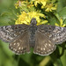Duskywings - Photo (c) Bill Bouton, some rights reserved (CC BY)
