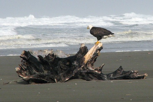 Driftwood with eagle