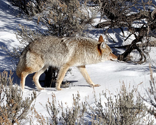 Gardner River Coyote - Yellowstone