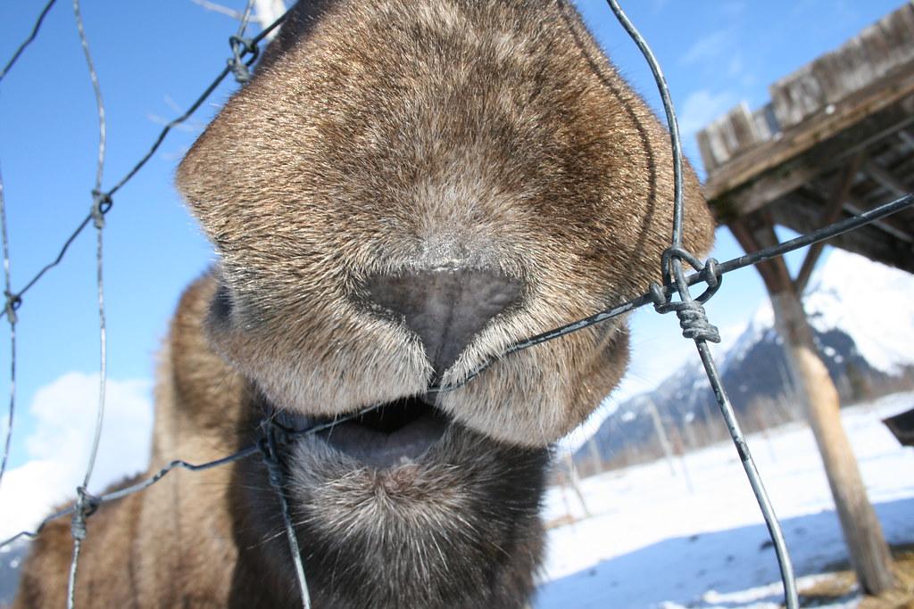 Nosy Moose