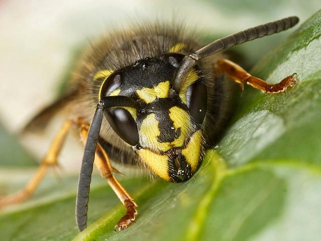 Queen Wasp | Flickr - Photo Sharing!Queen Wasp