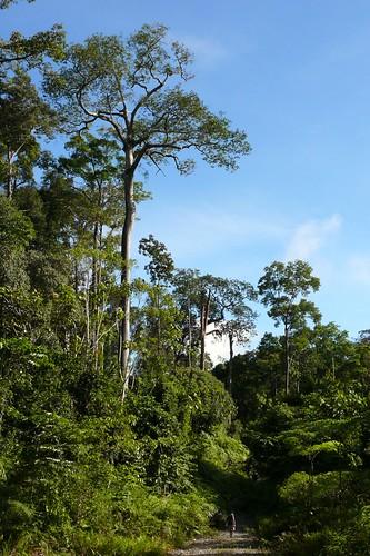 people man tree forest indonesia rainforest flickr forests climatechange globalwarming verticals rainforests eastkalimantan cifor seturan centerforinternationalforestryresearch