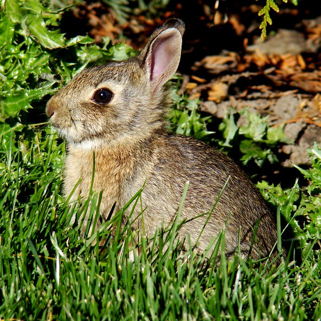 Baby cottontail rabbit - photo#12