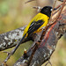 Audubon's Oriole - Photo (c) Jerry Oldenettel, some rights reserved (CC BY-NC-SA)