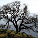 Valley Oak - Photo (c) Philip Bouchard, some rights reserved (CC BY-NC-ND)