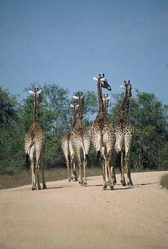 Giraffe Journey - Sabi Sabi
