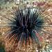 Diadematidae - Photo (c) Ken-ichi Ueda, some rights reserved (CC BY-NC-SA)