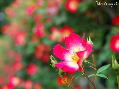 plant flower nature rose leaf spring waterdrop bokeh voigtlander rosa pistil petal dew stamen bloom droplet bud olympuspenep2 voigtlandernokton25mmf095 nokton25mmf095