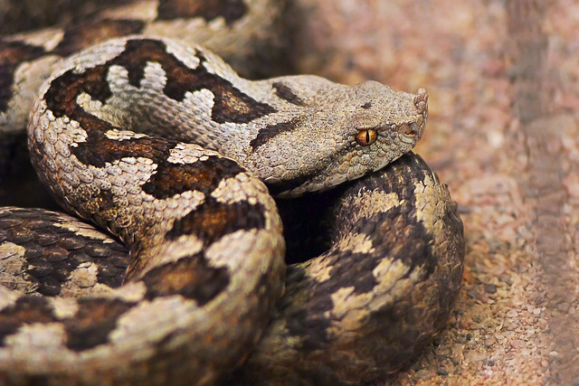 Horned viper | Flickr - Photo Sharing!