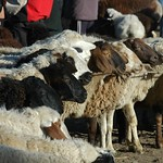 Karakol Animal Market, Sheep for Sale - Kyrgyzstan
