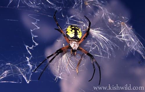 Garter Spider