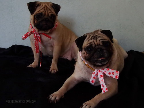 *SMILING PUG* MODELS BY MEL B & MEL C (GIRL POWER)