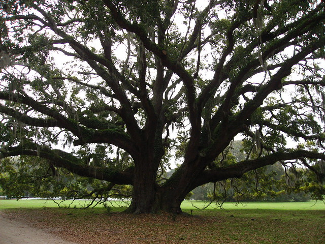 Ancient live oak