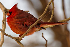 Cardinal on a cold winter's day