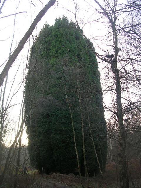 overgrown cypress copse