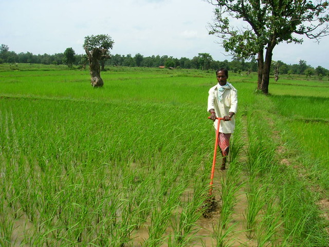 System of Rice intensification farming in Chattisgarh India