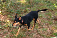 dog breed, animal, dog, german pinscher, manchester terrier, pet, miniature pinscher, pinscher, toy manchester terrier, carnivoran, terrier,