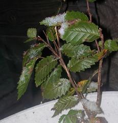 shrub, leaf, plant, herb, perilla frutescens,
