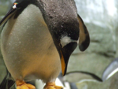Gentoo penguin by Susan Dulaney Wright