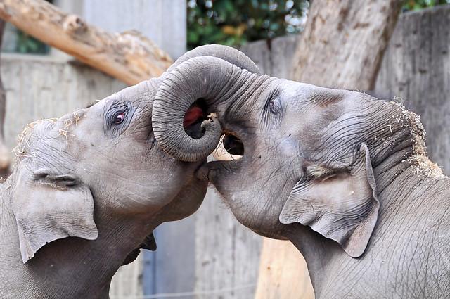 Playing elephant calves
