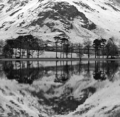 The Buttermere Pines in winter
