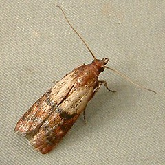 1128 Plodia interpunctella - Indian Meal moth 6019