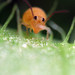 Globular Springtail (Bourletiella arvalis)