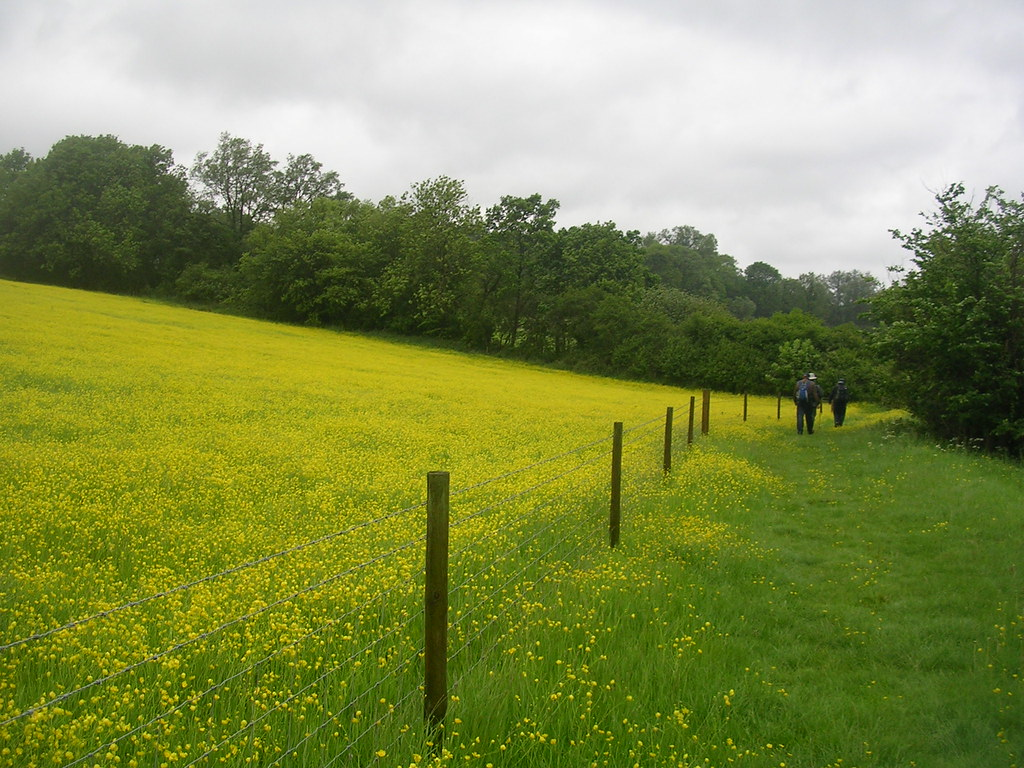 Us walking near the buttercups Wakes Colne to Bures Spectacular show of....