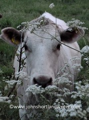 Cow with Cow Parsley