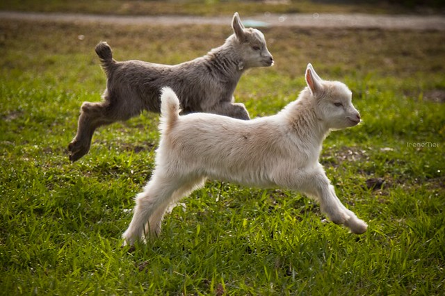 goats jumping all righ...