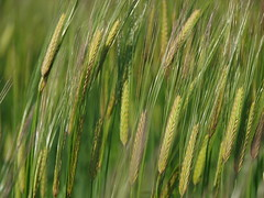 grass(0.0), food(0.0), paddy field(0.0), grassland(0.0), hordeum(1.0), agriculture(1.0), triticale(1.0), einkorn wheat(1.0), rye(1.0), food grain(1.0), field(1.0), barley(1.0), wheat(1.0), plant(1.0), green(1.0), close-up(1.0), crop(1.0), cereal(1.0), plant stem(1.0),