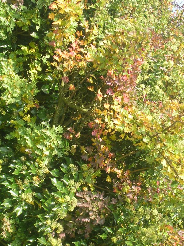 Autumn colours Hawthorn just starting to turn. Burgess Hill to Hassocks