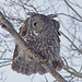 IMG_2966_Great Grey Owl