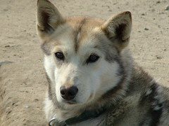 gray wolf(0.0), red wolf(0.0), norwegian elkhound(0.0), dog breed(1.0), animal(1.0), west siberian laika(1.0), dog(1.0), czechoslovakian wolfdog(1.0), pet(1.0), shikoku(1.0), canadian eskimo dog(1.0), east siberian laika(1.0), tamaskan dog(1.0), greenland dog(1.0), northern inuit dog(1.0), wolfdog(1.0), saarloos wolfdog(1.0), native american indian dog(1.0), jã¤mthund(1.0), carnivoran(1.0),