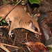 Mexican Mouse Opossum - Photo (c) Eduardo Marabuto, all rights reserved