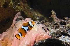 coral reef, anemone fish, coral, fish, yellow, coral reef fish, marine biology, invertebrate, macro photography, close-up, underwater, reef, sea anemone,