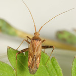 tarkalábú fapoloska - Phytocoris varipes
