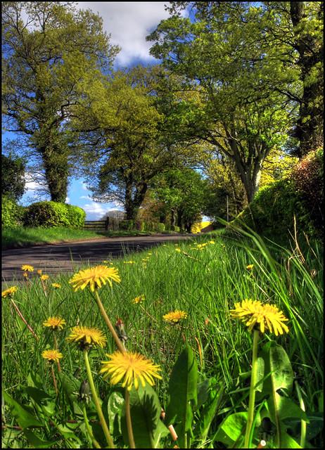 Dandelions and Oaks