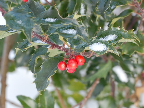 Holly Berry - day 96/ project 365