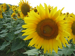 sunflower seed(0.0), vegetarian food(0.0), asterales(1.0), annual plant(1.0), sunflower(1.0), flower(1.0), field(1.0), yellow(1.0),