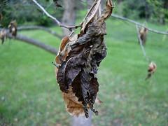Dead leaves, Tulip Poplar