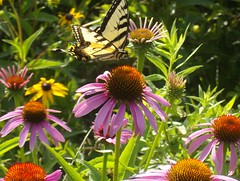 prairie, flower, invertebrate, insect, macro photography, wildflower, flora, fauna, purple coneflower,