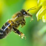 Honey Bee Crop