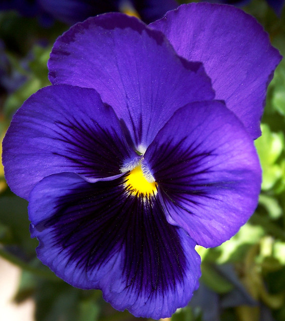 Image Result For Pansy Purple Color