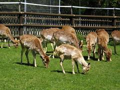 Deer at the Jardin Botanique in Geneva