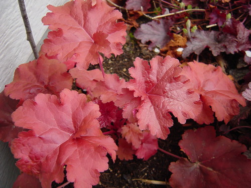 heuchera for interesting foliage gardeners tips. Black Bedroom Furniture Sets. Home Design Ideas