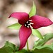 Trilliums - Photo (c) Peter de Wit, some rights reserved (CC BY-NC)