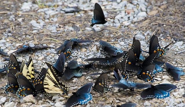 butterfly swarm | Flic...