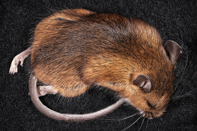 Field Mouse, Dorsal
