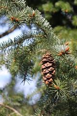 larch, flower, branch, leaf, flora, conifer cone, fir, spruce, twig,